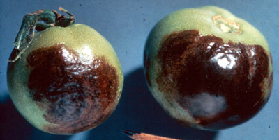 Late Blight Tomato