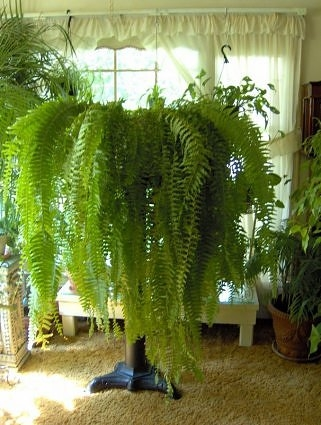 Care for indoor ferns horticulture talk for Low maintenance indoor hanging plants