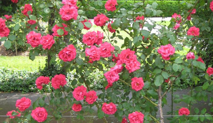 Canadian Climbing Rose