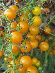 Gold Currant