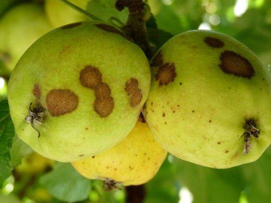 pear-scab