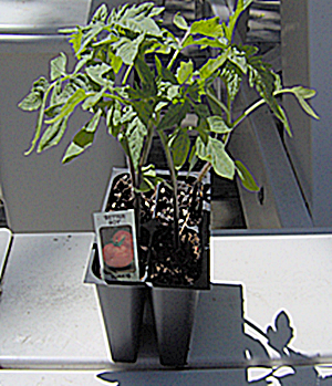 Tomato Transplants