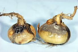 2014 Onions