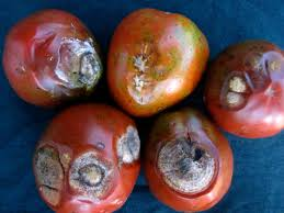 Diseased Tomatoes