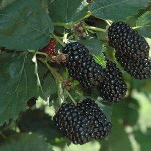 Fall Blackberries